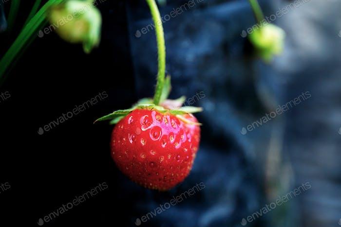 Strawberry on tree in farm