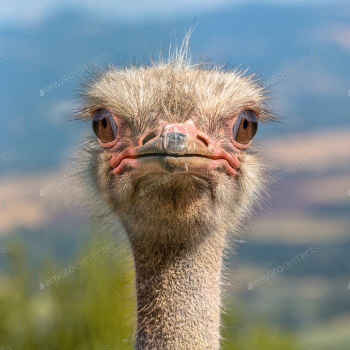 Head of an Ostrich frontal view