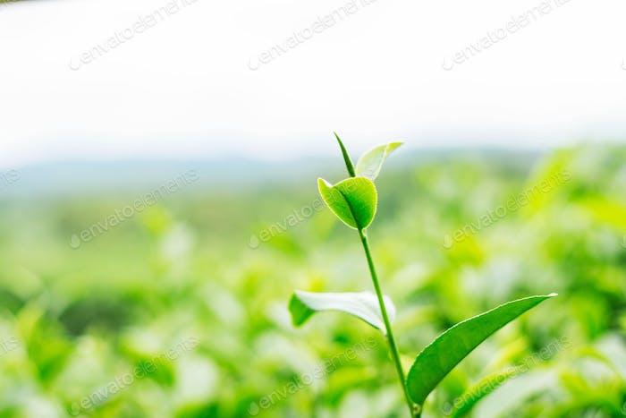Tee auf grünem Hintergrund