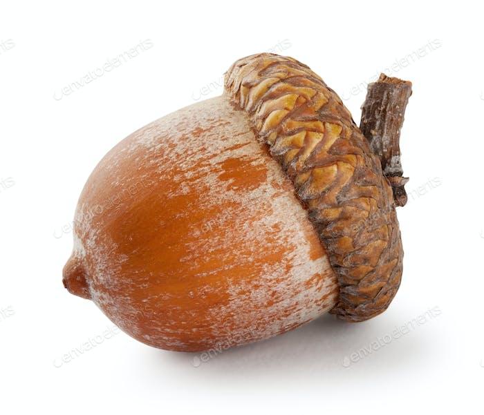 Ripe brown acorn
