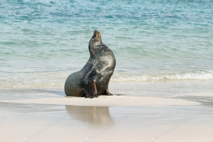 Imposing male of Sea Lion