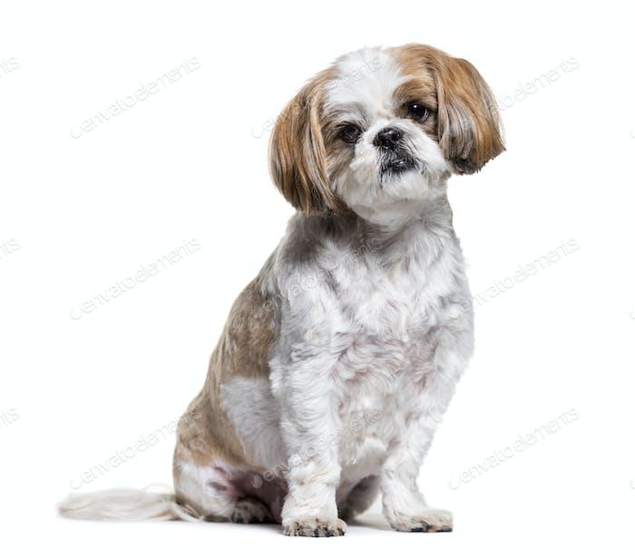 shih tzu dog sitting, cut out