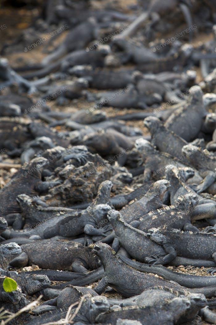 Marine iguanas in Galapagos islands
