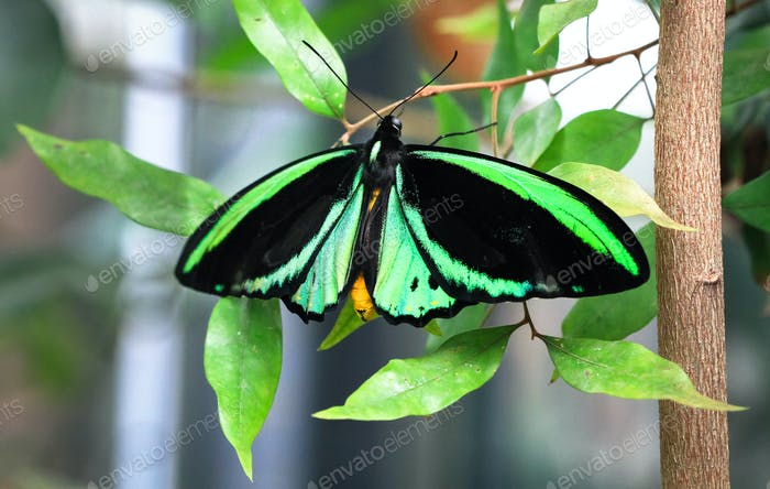 Cairns Birdwing Butterfly on Leaves