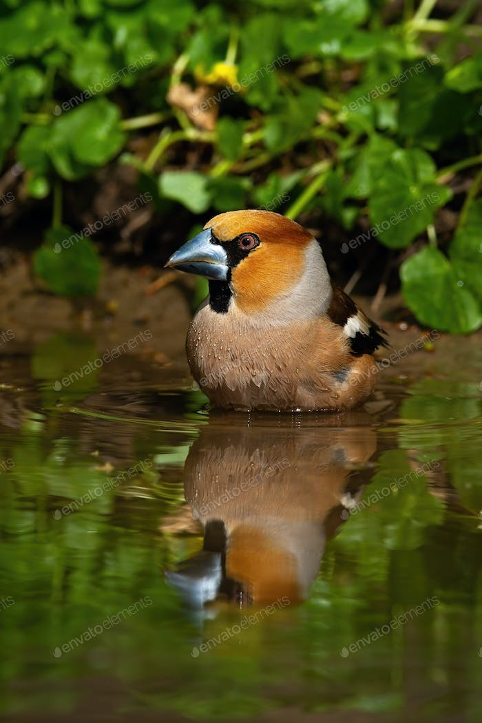 Colorful male hawfinch bathing in water with green leafs in background