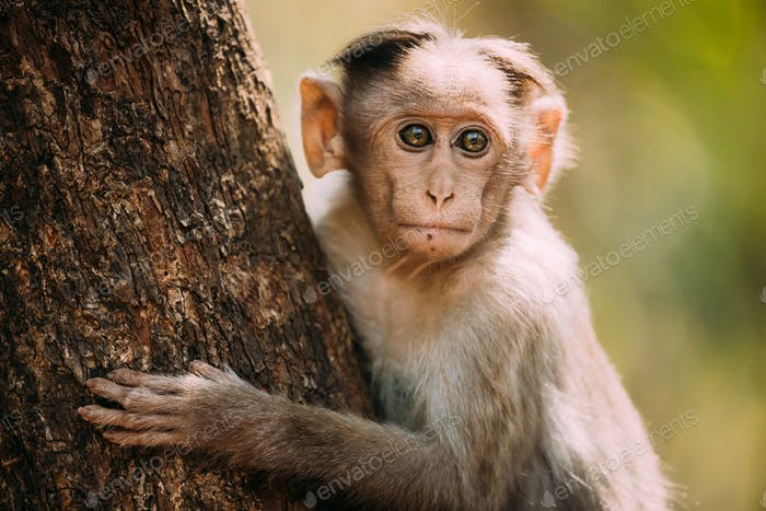 Goa, India. Young Bonnet Macaque - Macaca Radiata Or Zati Sitting On Tree. Close Up Portrait Of Cub