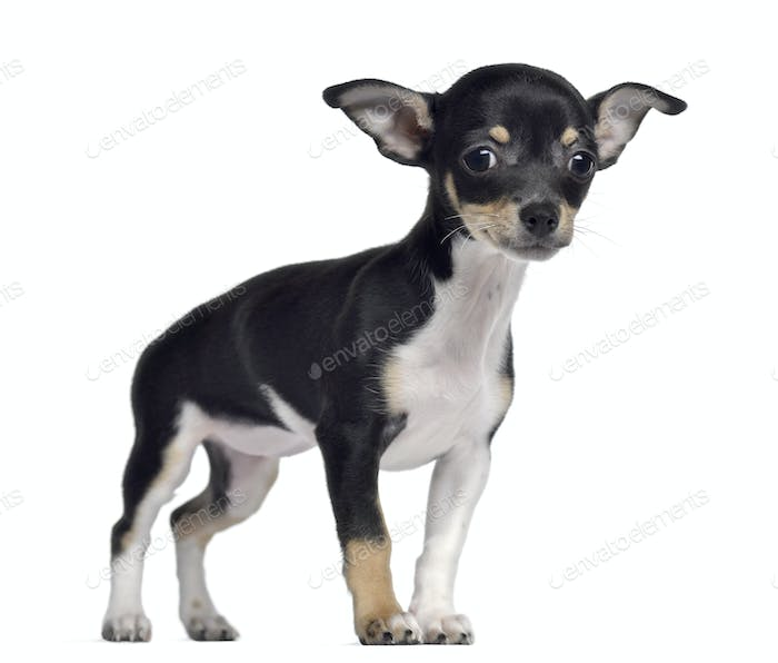 Chihuahua, 3 months old, standing, isolated on white