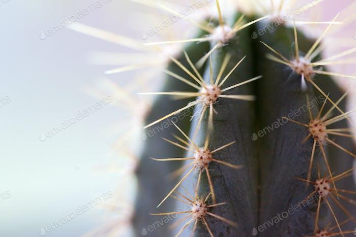 Cactus Background. Cactus. Macro cactus thorns