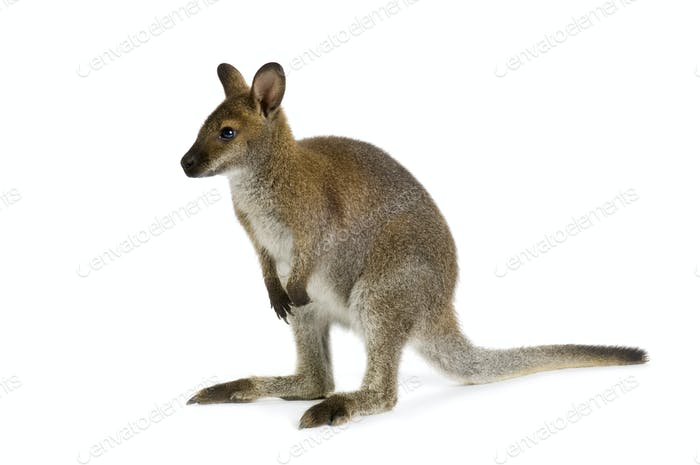 Wallaby