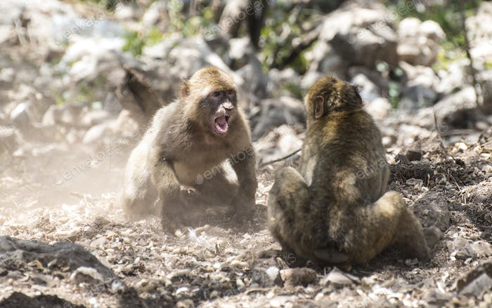 Monkey fight