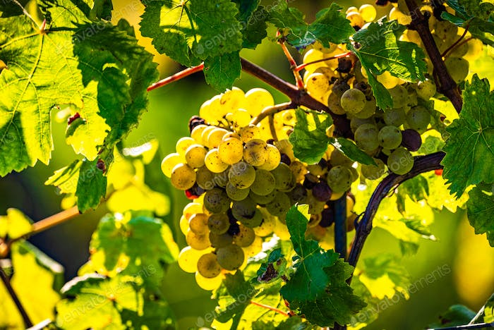 Green grapes on vineyard over bright green background. Sun flare