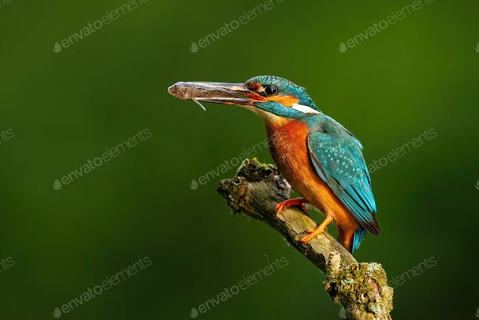 Elegant common kingfisher stretching forward and holding a fish in beak