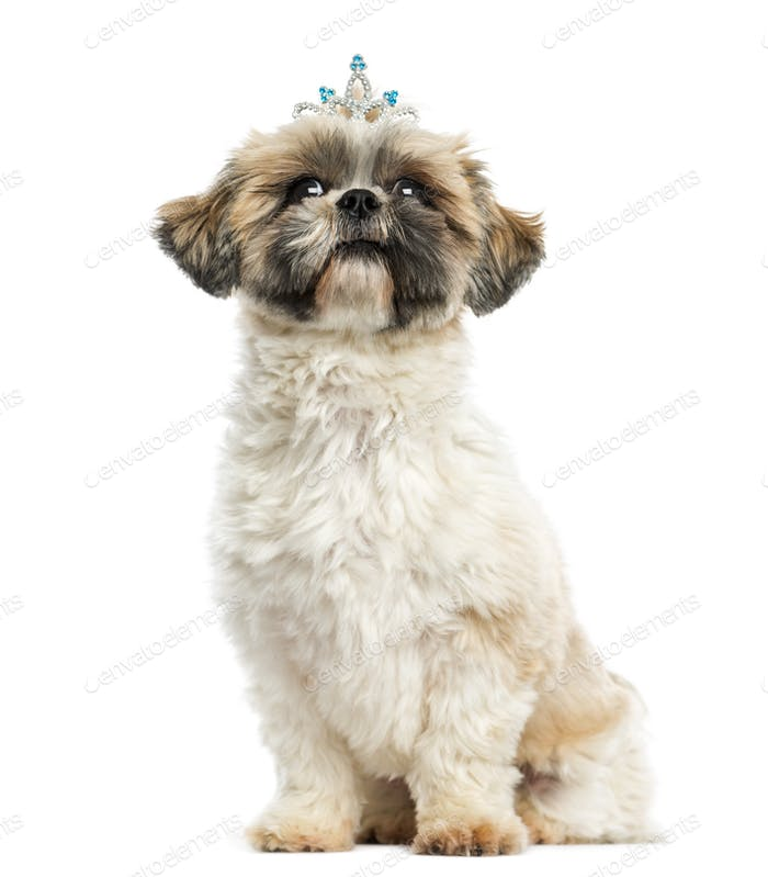 Shih tzu wearing a diadem sitting, 2 years old, isolated on white