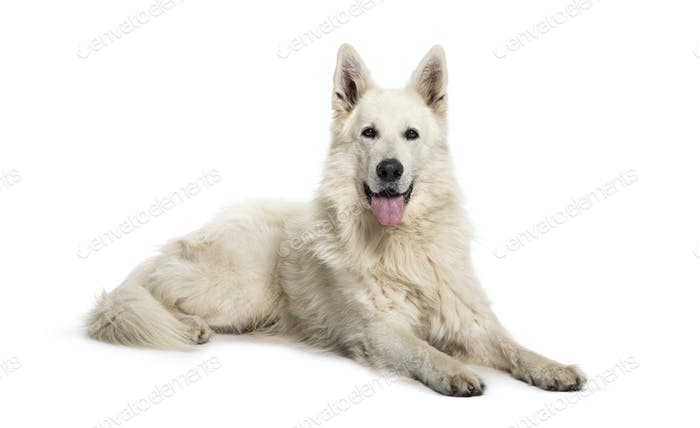 Berger Blanc Suisse lying in front of white background