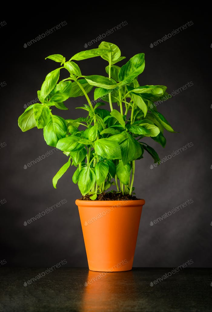 Basil Herb Growing in Pottery Pot