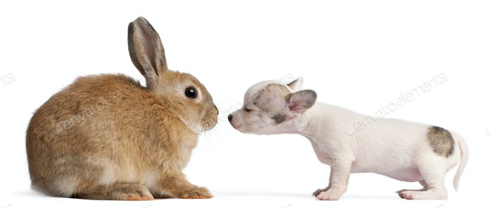 Chihuahua puppy, 10 weeks old, sniffing rabbit in front of white background
