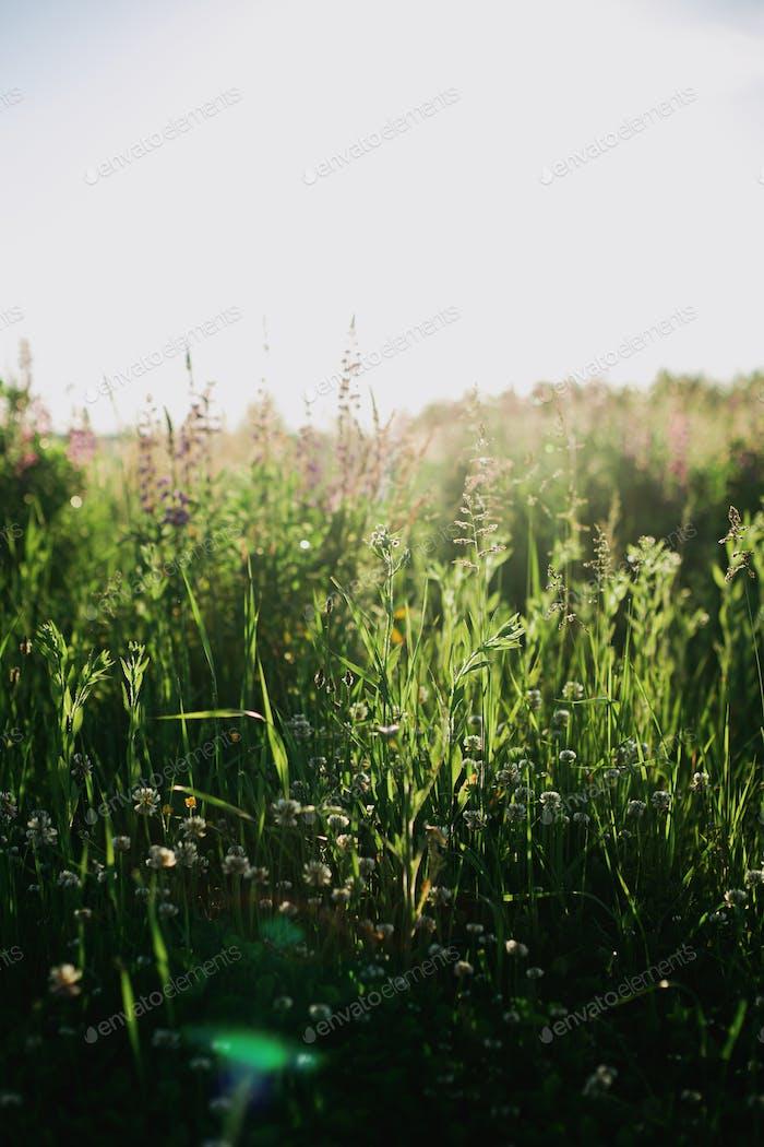 Beautiful fresh green grass in sunlight closeup. Spring or summer morning in meadow. Calm scene