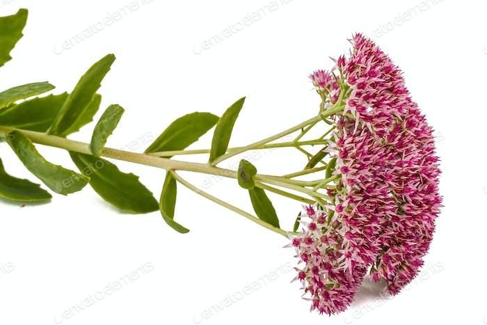 Blütenstand der Blumen Stein Nahaufnahme, lat. Sedum Spectabi