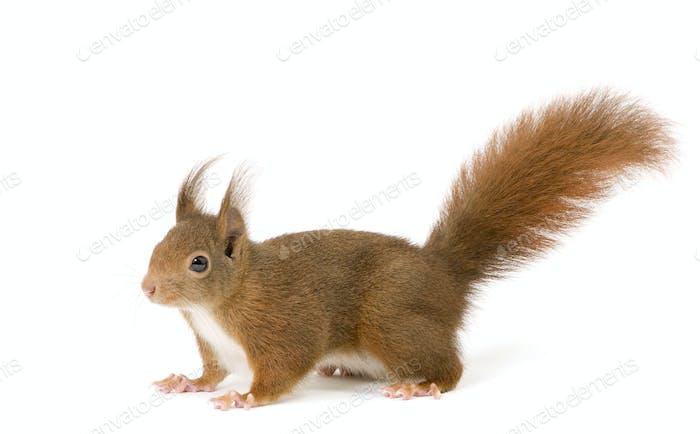 Eurasian red squirrel - Sciurus vulgaris (2 years)