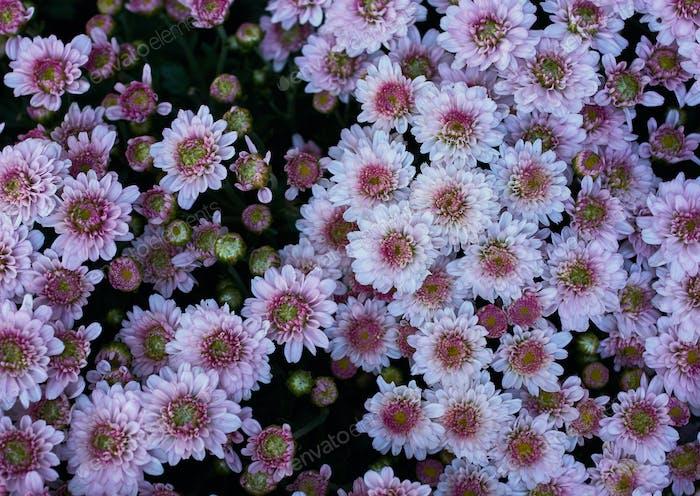 Hintergrund der Blumen in Blüte