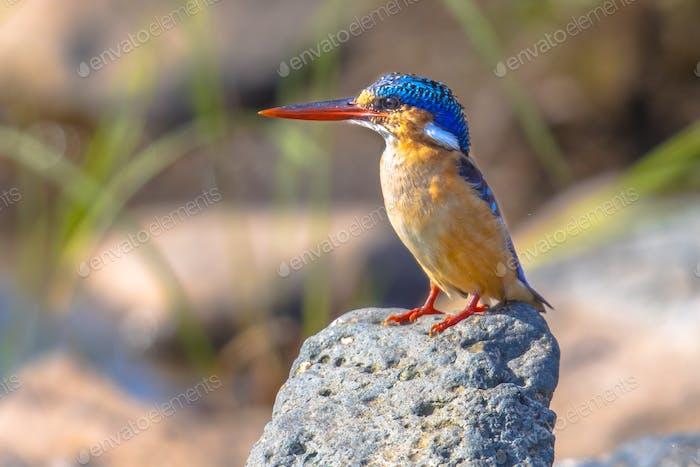 Malachite Kingfisher on rock