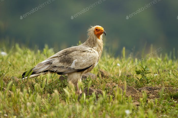 Egyptian vulture sitting on the ground in Rhodope Mountains