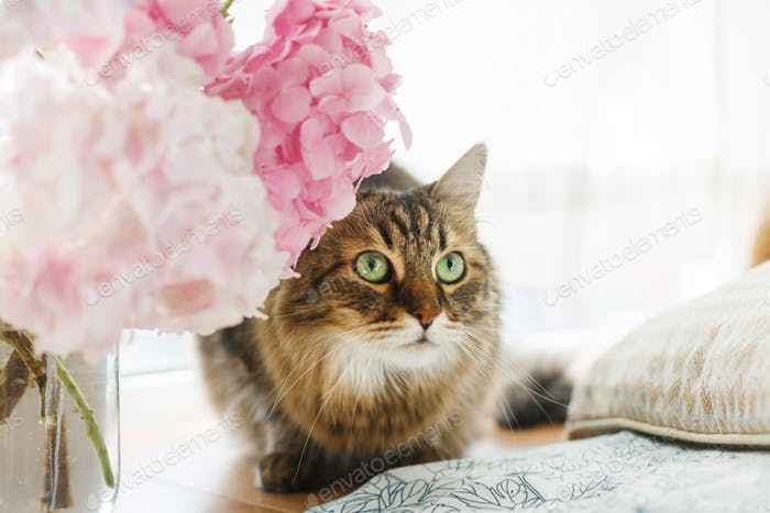 Cute curious tabby cat sitting under beautiful pink and purple hydrangea
