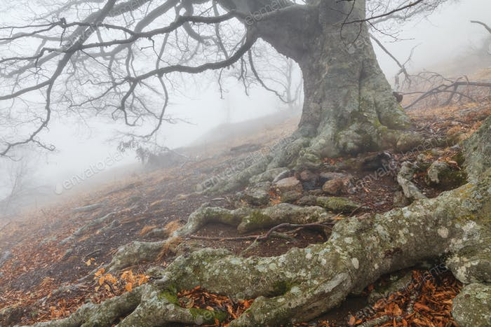 Mysterious foggy autumn forest on the mountain slope.