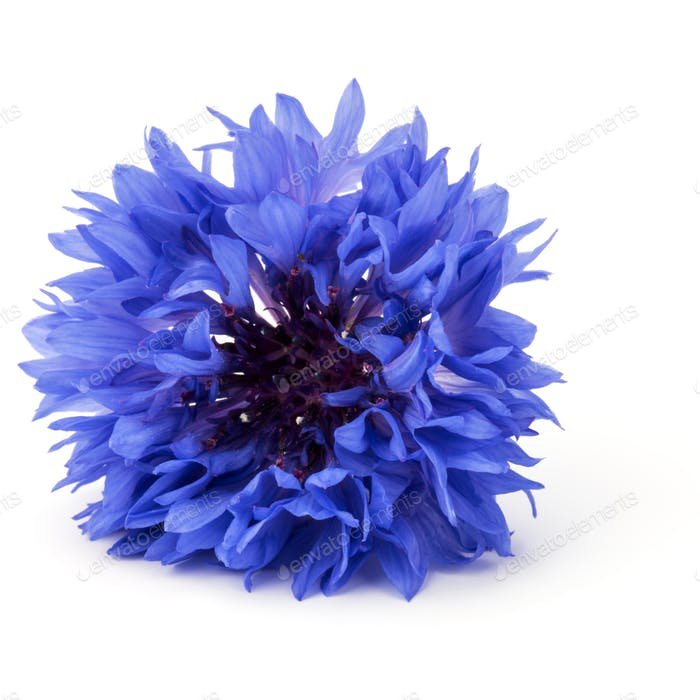 Blue Cornflower Herb or bachelor button flower head isolated on white