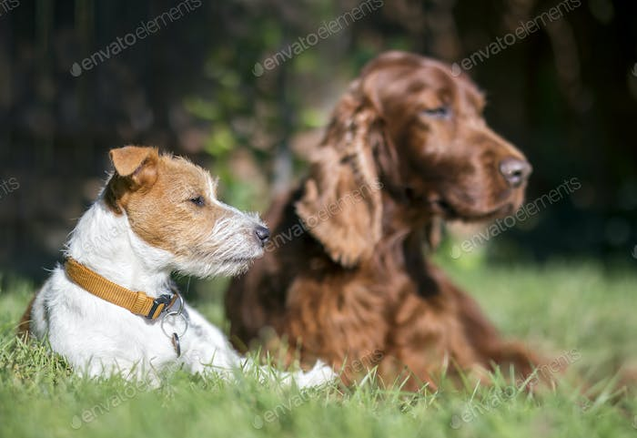 Pet friendship - lazy dogs resting in the grass