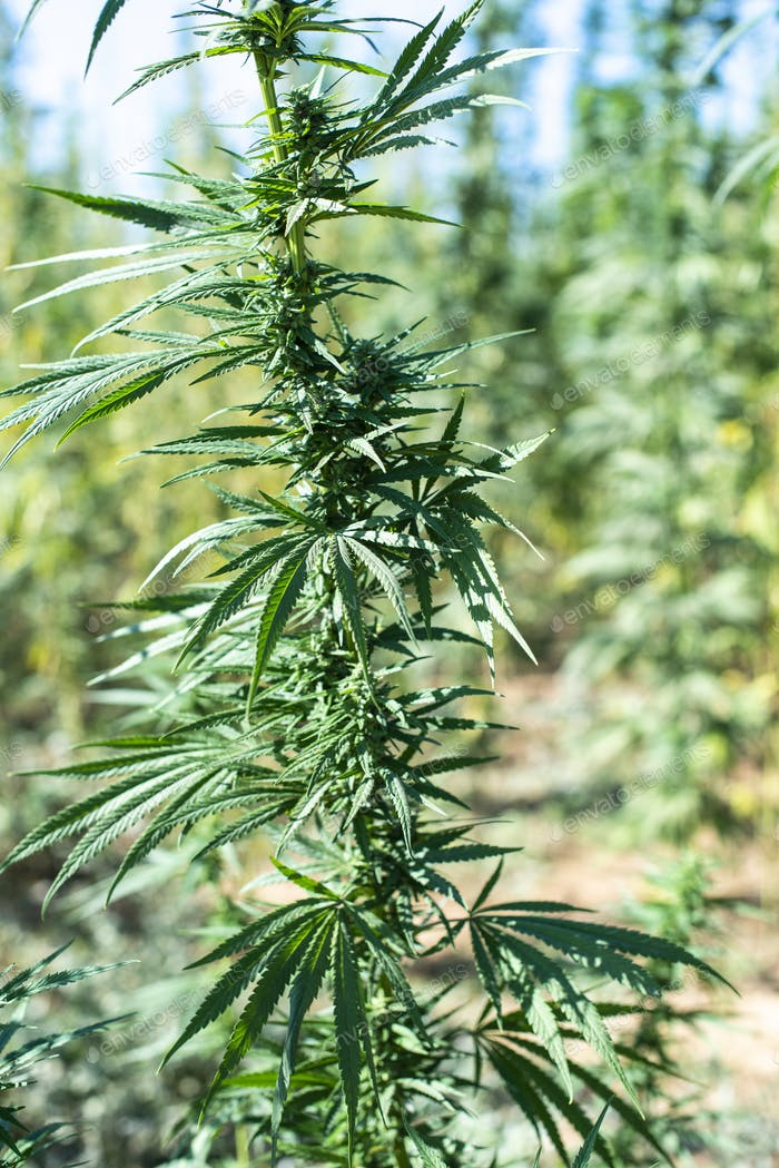 Marijuana farm.  Growing Cannabis sativa in farm.