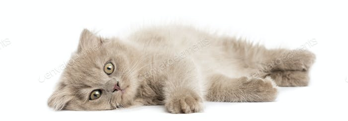 Highland fold kitten lying, looking at the camera, isolated on white