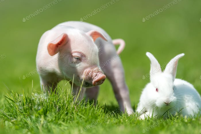 Piglet and white rabbit on spring green grass on a farm