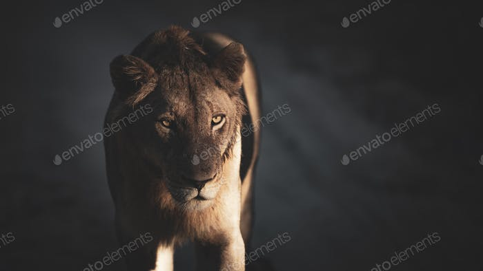 A lioness, Panthera leo, stands in dappled light and shadow