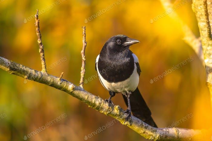 Eurasian magpie with autumn background