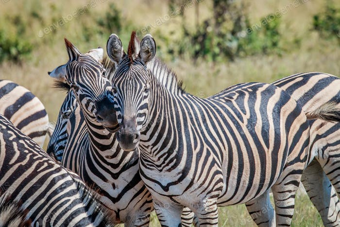 Zwei Zebras Bindung im Chobe Nationalpark.