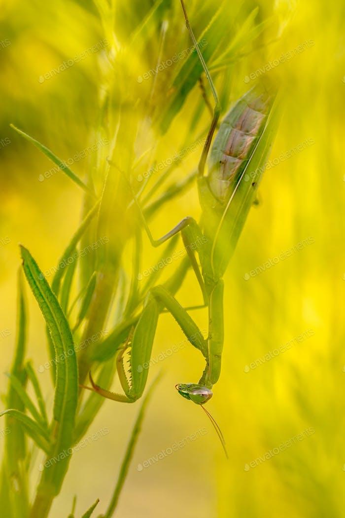 Praying mantis ambush predator