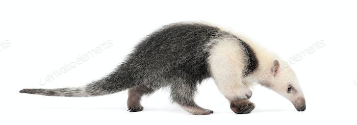 Tamandua, Tamandua tetradactyla, 3 months old, walking against white background