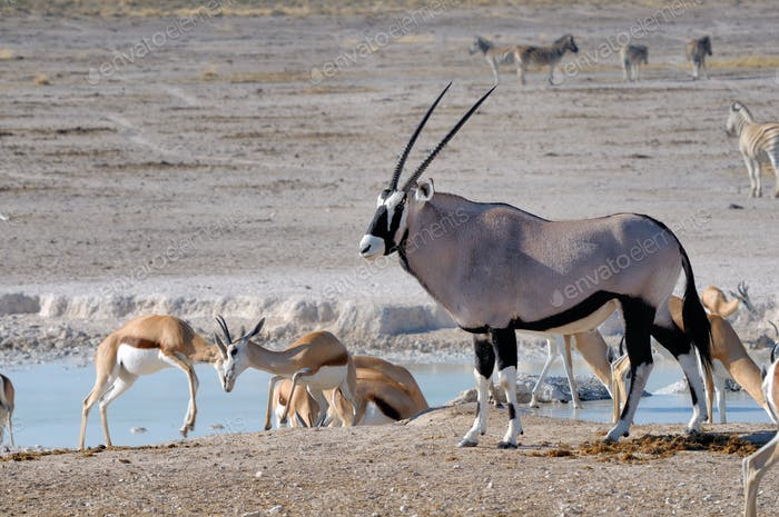 Oryx (Gemsbok) and Springbok