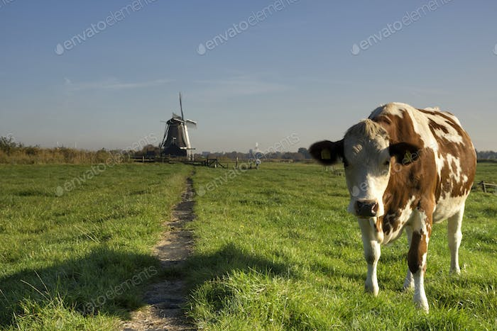 Cow in a meadow near Westzaan