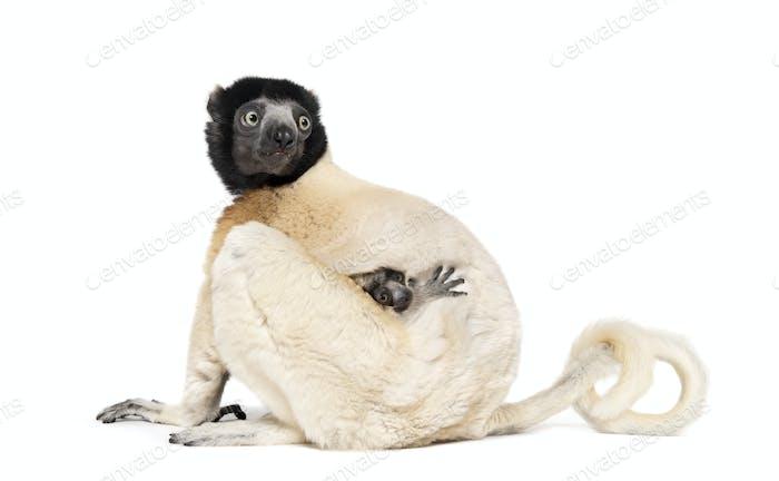 Mutter gekrönt Sifaka und ihr zwei Monate altes Baby sitzt vor weißem Hintergrund