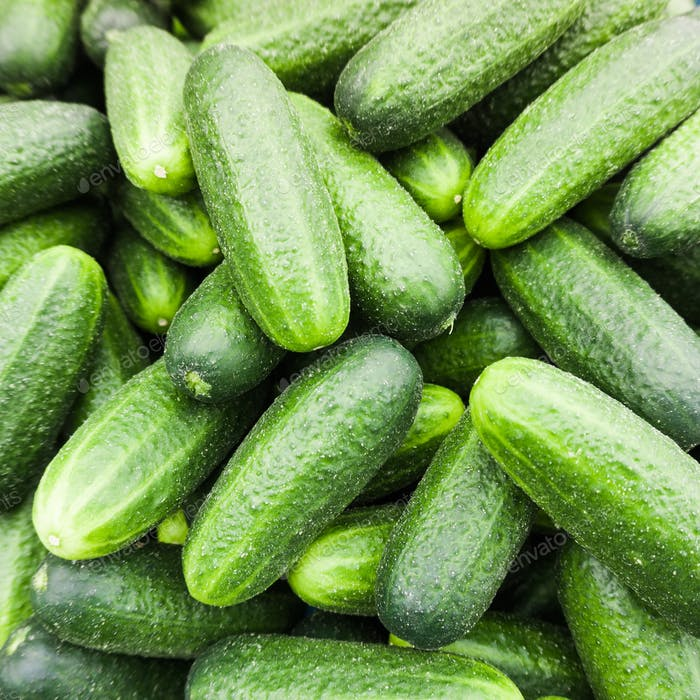 Fresh green cucumber.  Cucumber background