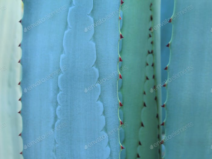 Thorn of cactus leaf texture