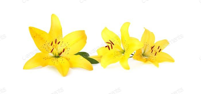 Lilienblüte auf weißem Hintergrund. Gelbe Farbe.