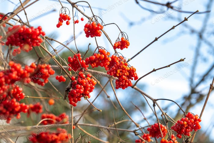 Frosted red berries of guelder rose. Hoarfrost on Viburnum opulus bunches and branches on cold