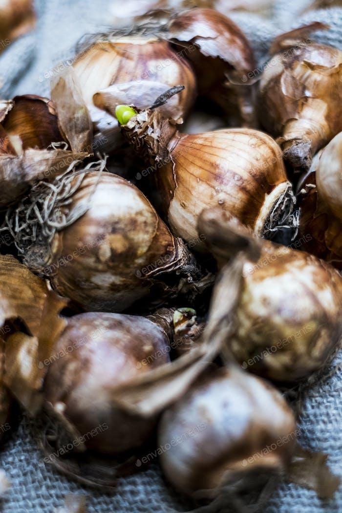 Hochwinkelnaher Nahaufnahme von braunen Zwiebelzwiebeln auf grauem Hintergrund.