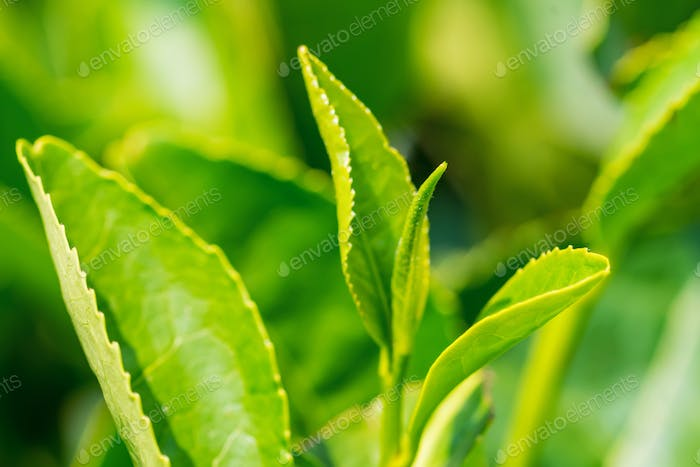 Close up green tea leaves in a tea plantation