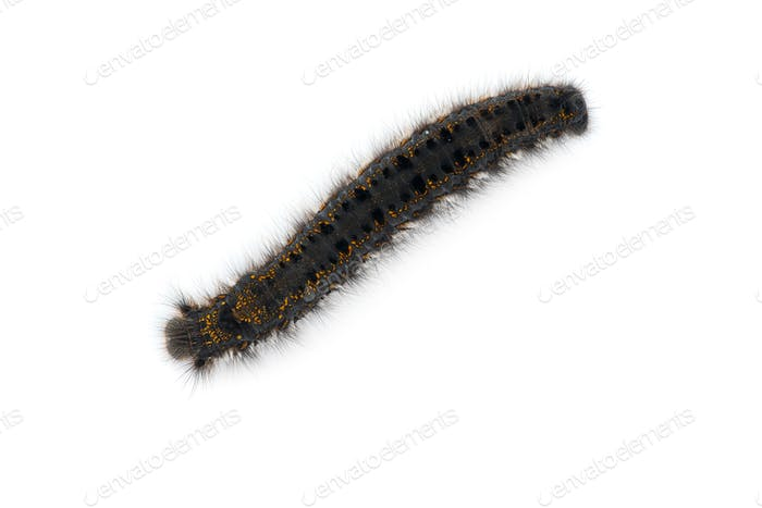 Brown tail moth larvae isolated on white background