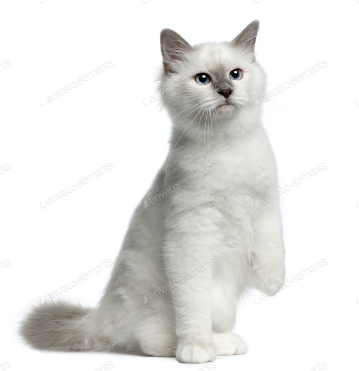 Birman Kitten, 4 months old, sitting in front of white background
