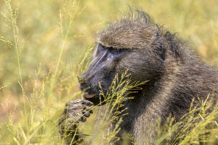 Chacma baboon feeding on seeds of grass